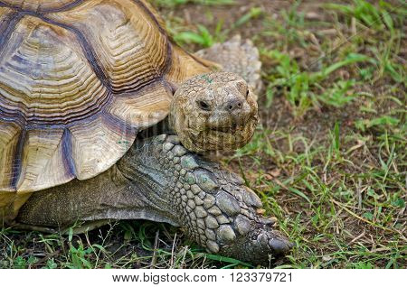 Old tortoise in dirt and grass with open mouth ** Note: Visible grain at 100%, best at smaller sizes