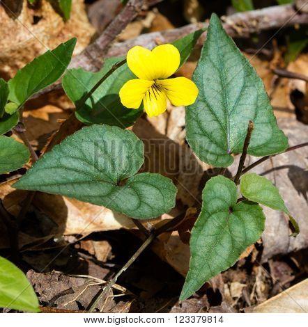 Halberdleaf Yellow Violet (Viola hastata) blooming in early spring