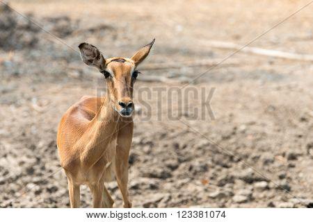 Young eld's deer closeup , Wildlife scene.