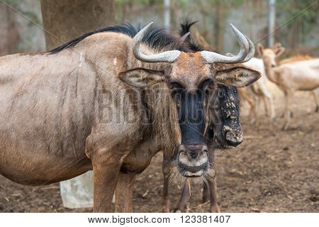 Wildebeest close-up, Animals and Wildlife scene concept.