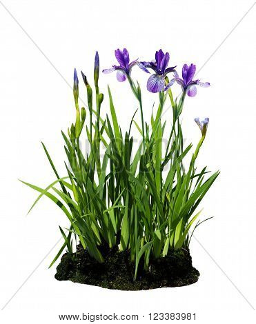 Fresh purple iris flower plant isolated on white background