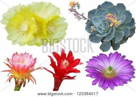 Set of cactus flowers isolated on white background