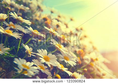 Spring Daisy flowers border. Beautiful nature scene with blooming chamomiles in sun flare. Sunny day. Spring flowers. Beautiful scene. Summer background. Springtime