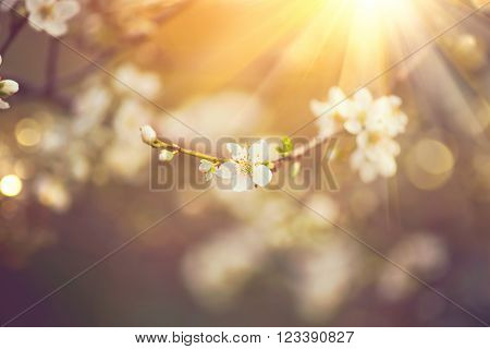 Spring nature background art with beautiful blossom. Beautiful nature scene with blooming tree and sun flare. Sunny day. Spring flowers. Beautiful Orchard. Abstract blurred background. Springtime