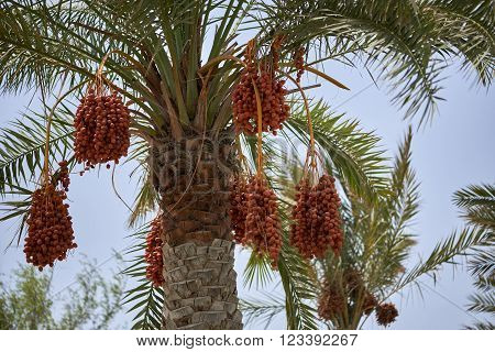 Ripening dates hanging from a date palm tree in Muscat Oman