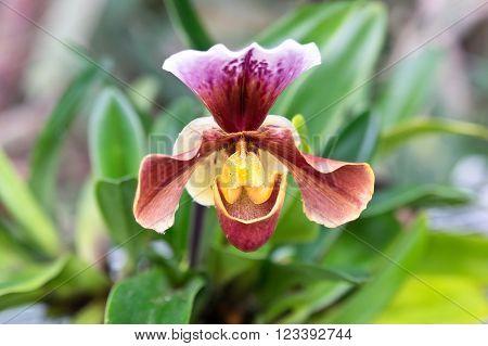 Paphiopedilum or Venus slipper flower close up