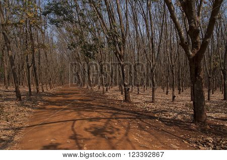 Rubber tree farming and plantation agriculture Asia latex sap collection.