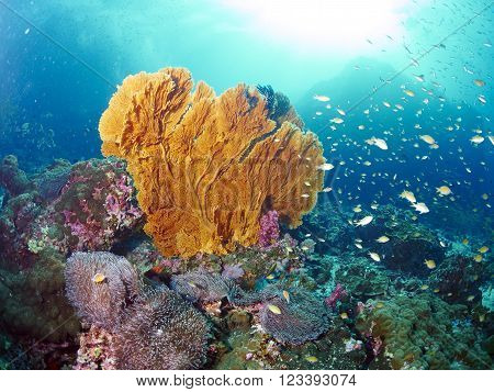 reef fish and giant fan coral in Similan Thailand