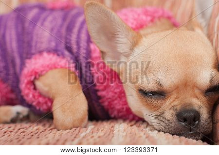 Chihuahua Puppy Dressed With Pullover Sleeping On Sofa