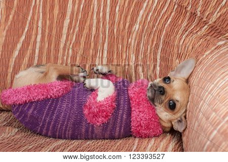 Chihuahua Puppy Dressed With Pullover Lying On Her Back On Sofa
