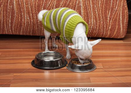 White Chihuahua Dressed With Pullover Feeding Granules At Home