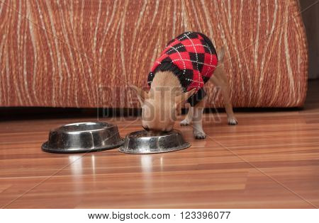 Chihuahua Puppy Dressed With Pullover Feeding Granules At Home.