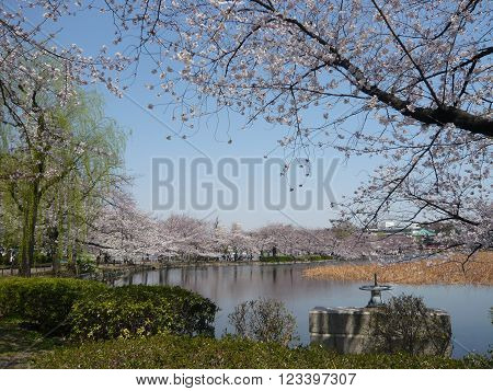 A view of a lake surrounded by blossoming cherry trees