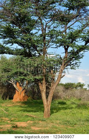 Waterberg plateau bush savannah and the big orange termite mound build around tree root on background at sunset light Africa Namibia