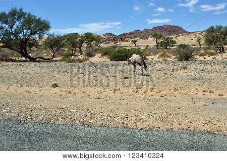 A Gemsbok (Oryx gazella) goes along the tar road in the Namib desert Namibia Africa