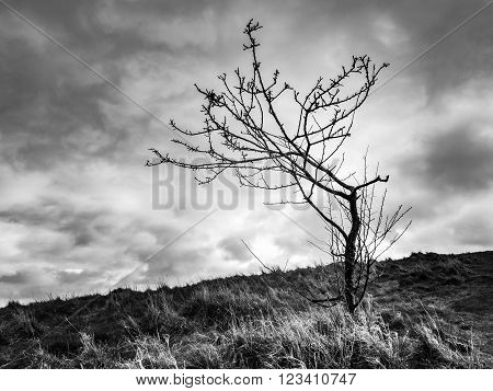 Lonely leafless tree in the Holyrood Park in Edinburgh