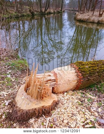 Big tree taken down by beaver on a bank Radbuza River near Pilsen City. This animal is destructive pest for agriculture and forestry in Czech Republic, Europe.