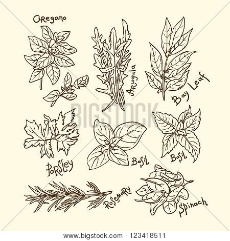 Set of beautiful hand drawn vector  illustration of culinary herbs