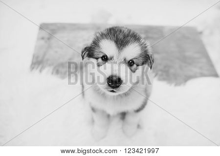 One month old dedicated alaskan malamute puppy