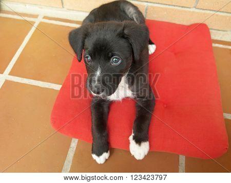 cute puppy dog breed pitbull black color