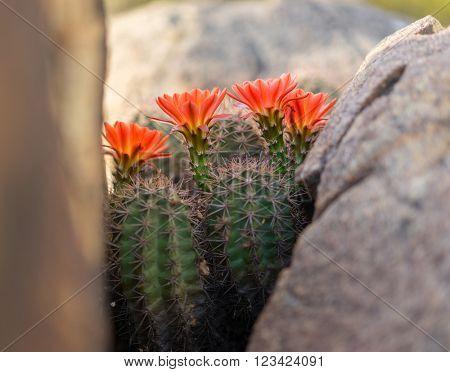 Beautiful blooming desert cactus flowers