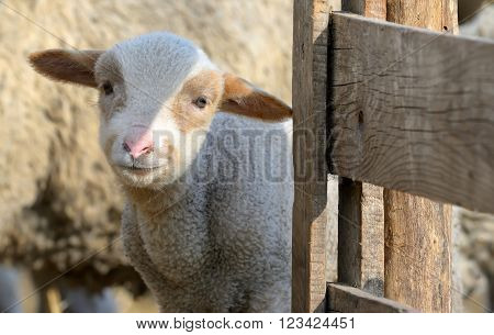 newborn lamb on the farm in spring time