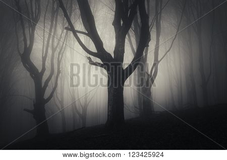 Tree silhouettes in haunted mysterious dark Halloween forest with fog at night