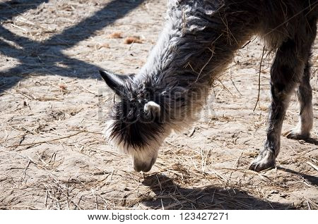 Alpaca Eating From Ground