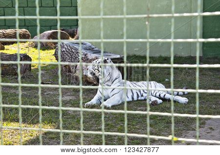 White Tiger Behind Wire Netting