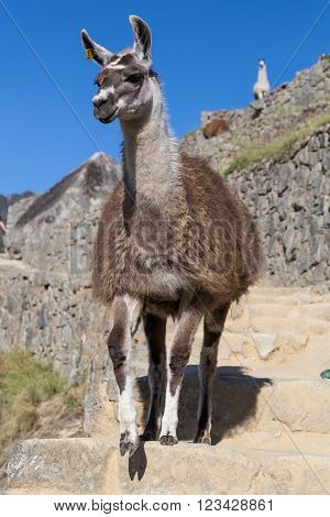 Llama Walking Down Stairs In Machu Picchu, Andes Mountains,  Peru