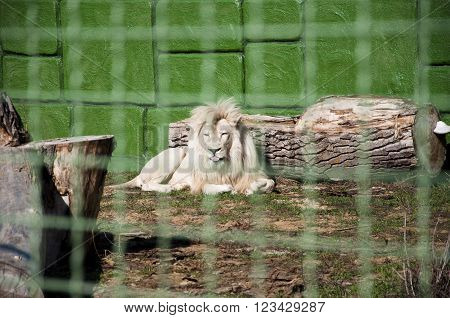 White Lion Behind Wire Netting