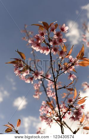 Prunus  cerasoides ,  pink flower for your interiors.