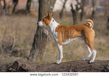Full body portrait of Basenji dog standing on a tree branch