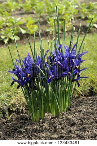 Dwarf irises iris reticulata variety 'George' in flower.