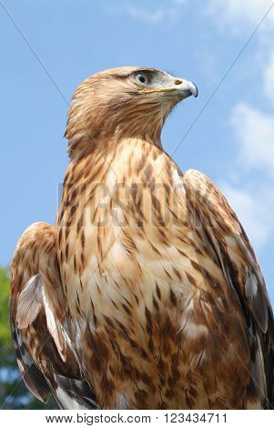Close up of an Eagle on the sky
