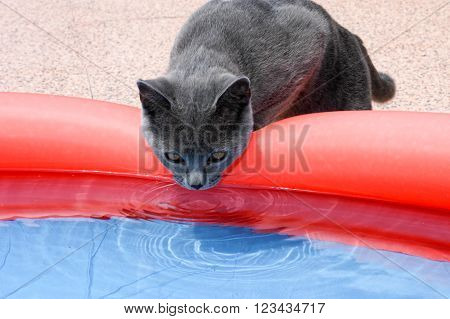 Curious chartreux cat near a swimming pool