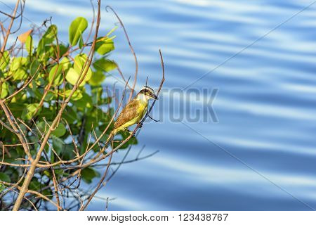 Great Kiskadee landed between branches over the Rodrigo de Freitas lagoon waters in Rio de Janeiro