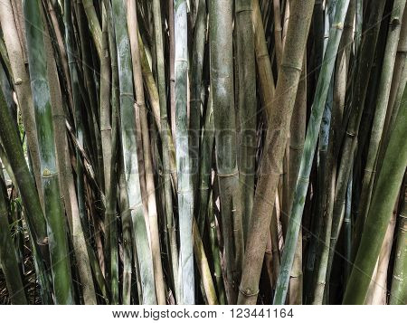 A large clump of bamboo canes in growth