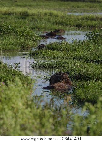 The capybara (Hydrochoerus hydrochaeris) seen wild in the Ibera Wetland area of Argentina ** Note: Shallow depth of field