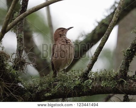 The clay-colored thrush (Turdus grayi) seen in Argentinian wetlands.