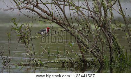 Red Crested Cardinal (Paroaria coronata) seen in the Ibera wetland Argentina.