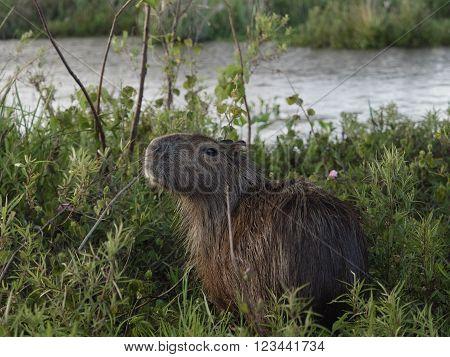 The capybara (Hydrochoerus hydrochaeris) seen wild in the Ibera Wetland area of Argentina