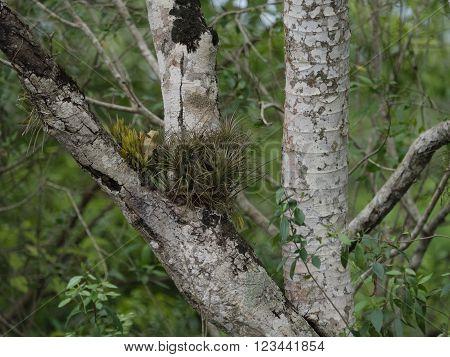 Tillandsia varieties growing wild in tropical Argentina