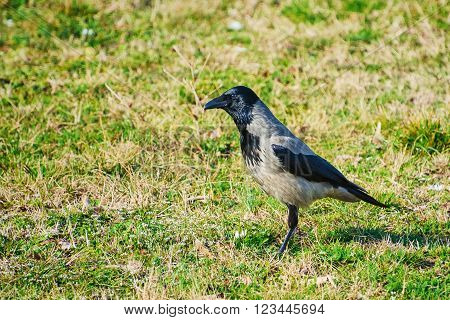 Image of Single Crow on the Grass