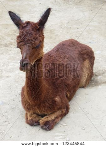 Baby Llama sitting in Andes Mountains Peru