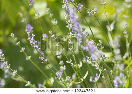 lavander on green background in summer in sunny day