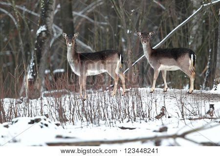 Two female deer standing in a winter forest