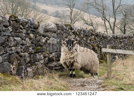 A ram on the Dales Way footpath near Kettlewell, Wharfedale, Yorkshire Dales National Park a popular location for walkers on the Dales Way footpath.
