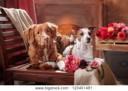 Dogs Jack Russell Terrier and Dog Nova Scotia Duck Tolling Retriever portrait dog on a studio color background dog lying on a chair in the studio
