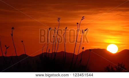 Ocotillo cactus and setting sun in Saguaro National Park